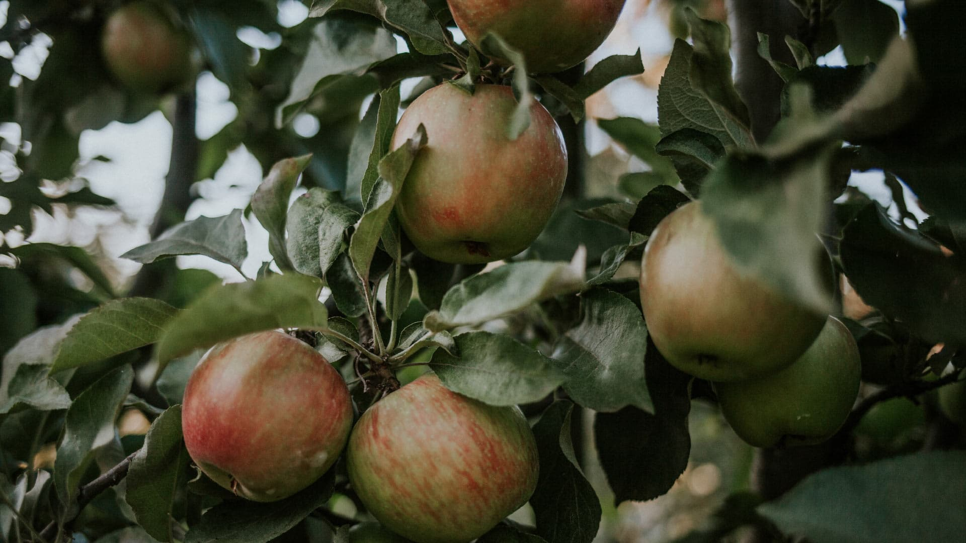 Home_BannerApples